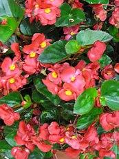 Begonia vždykvitnúca