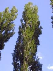 Populus nigra italica - topoľ