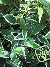 leucothoe fontanesiana whitewater leucote hustý ker listy lesklé ...